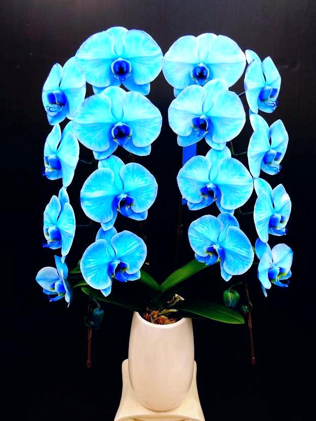 青の胡蝶蘭 『ブルーエレガンス』 2F1