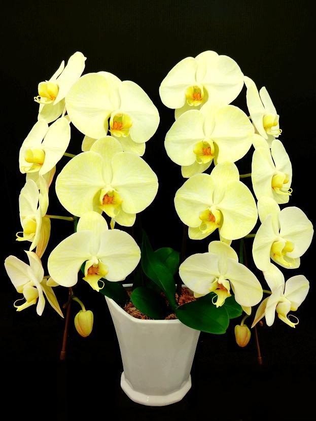 黄色の胡蝶蘭 『イエローエレガンス』 2F
