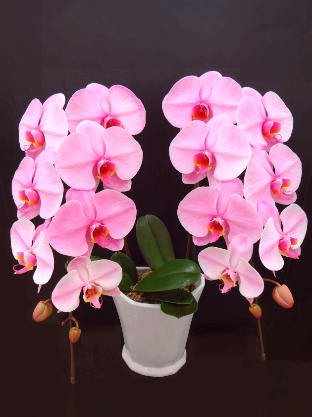 ピンクの胡蝶蘭 『ピンクエレガンス』 2F
