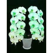 緑の胡蝶蘭 『グリーンエレガンス』 2F1