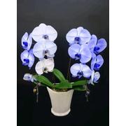 紫の胡蝶蘭 『パープルエレガンス』 2F1