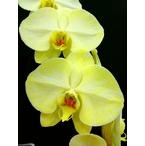 黄色の胡蝶蘭 『イエローエレガンス』 2F3