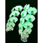 緑の胡蝶蘭 『グリーンエレガンス』 2F2