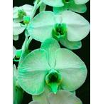 緑の胡蝶蘭 『グリーンエレガンス』 2F3