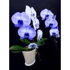 紫の胡蝶蘭 『パープルエレガンス』 2F2