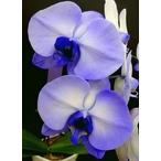 紫の胡蝶蘭 『パープルエレガンス』 2F3