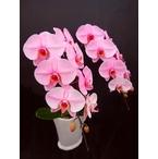 ピンクの胡蝶蘭 『ピンクエレガンス』 2F2