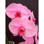 ピンクの胡蝶蘭 『ピンクエレガンス』 2F3